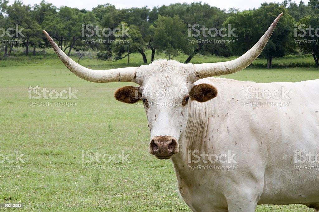 Texas White Longhorn royalty-free stock photo