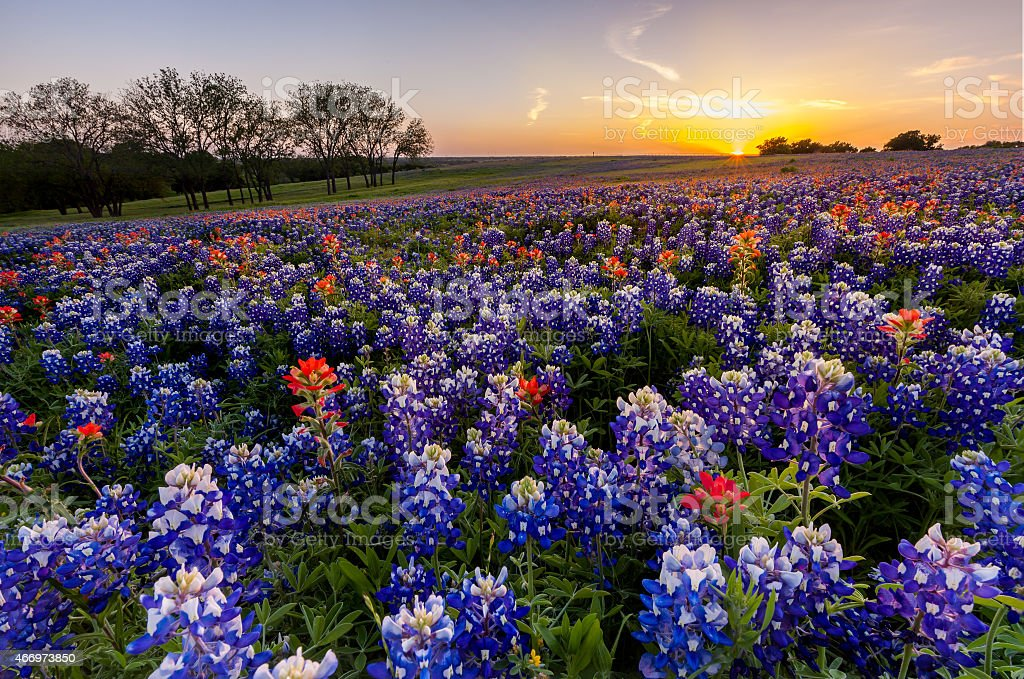Texas wildflower -  bluebonnet and indian paintbrush field at sunset stock photo