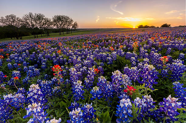 texas wildflower -  bluebonnet and indian paintbrush field at sunset - bluebonnet stock photos and pictures