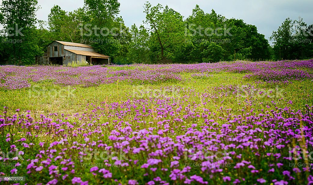 Texas Wildflower Field with Old Barn - Foto stock royalty-free di Ambientazione esterna