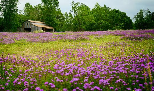 Texas Wildflower Field With Old Barn - Fotografie stock e altre immagini di Ambientazione esterna