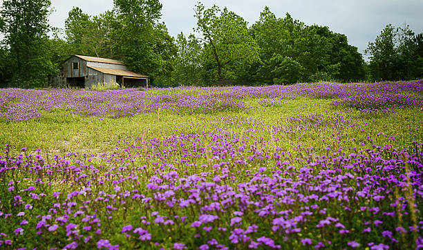texas wildflower field with old barn - est foto e immagini stock