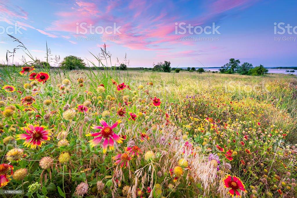 Texas Wildflowers at Sunrise stock photo