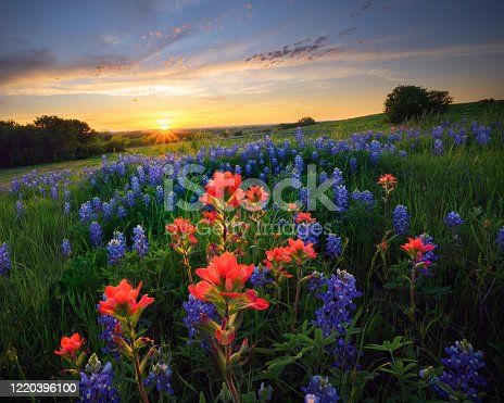 Ennis Texas Bluebonnets and Indian paintbrushes at sunset