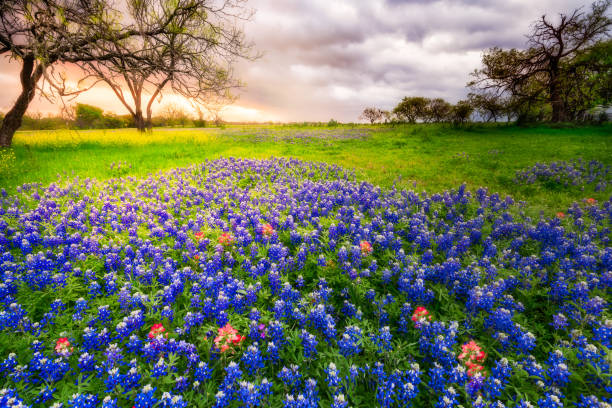 texas wildflowers on a cloudy spring morning - bluebonnet stock photos and pictures