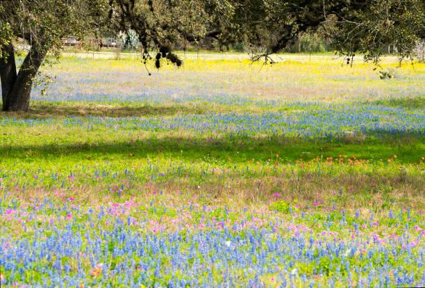 Texas Wildflowers stock photo