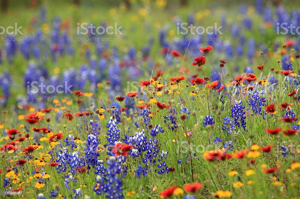 Texas wildflowers royalty-free stock photo