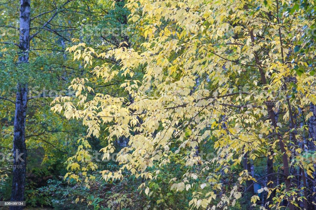 Texture, background. Autumn Leaves. Acer mandshuricum (Manchurian maple) stock photo