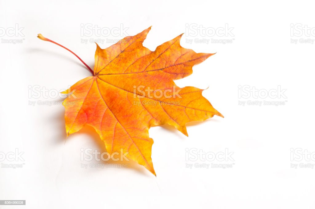 Texture, background. Autumn maple leaves. On a white background, there is a place for brands stock photo