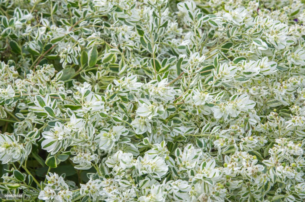 Texture background. Euphorbia marginata commonly known as snow-on-the-mountain, smoke-on-the-prairie, variegated spurge, or white margined spurge is a small annual in the spurge family stock photo