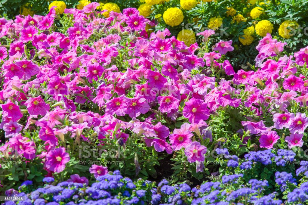 Texture Background Flower Beds City Marigolds Petunias Stock Photo Download Image Now Istock