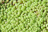Texture, background, pattern. Sempervivum is a genus about varieties of flowering plants of the family Crassulaceae, commonly known as housewives. Other common names include liveforever