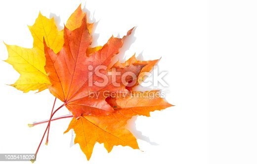 Texture, background, pattern. Yellow red maple leaves on white background. Autumn's Photo