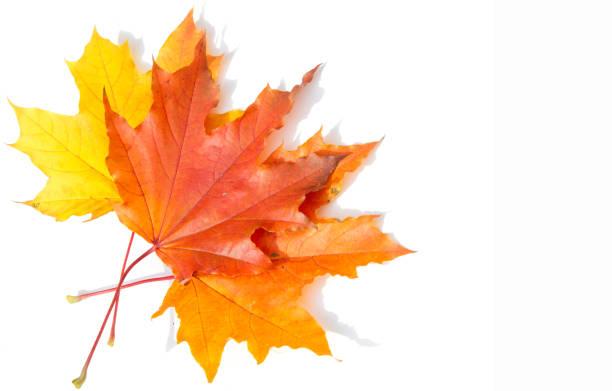 Texture, background, pattern. Yellow red maple leaves on white background. Autumn's Photo - fotografia de stock