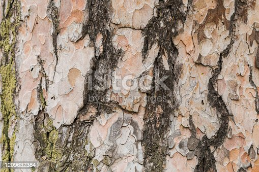 465559373 istock photo Texture bark of pine pree close-up. The old wood texture with natural pattern 1209632384