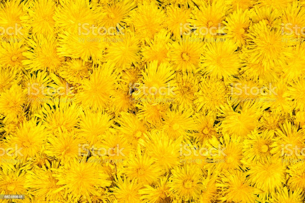 Texture flowers of dandelions royalty-free stock photo
