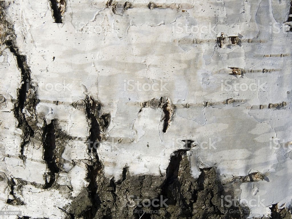 Texture from a birch bark royalty-free stock photo