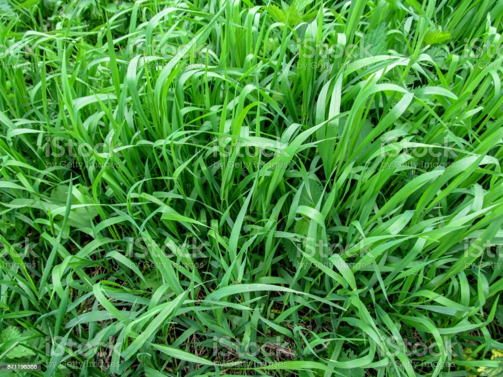 Texture grass of the Elymus repens close-up - top view stock photo