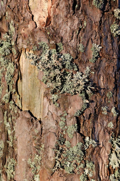 Texture of a Brown Tree Trunk with some Lichen on It stock photo