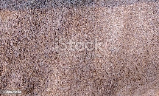 Brown skin texture of a jackal