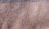 istock Texture of a jackal skin 1253603543