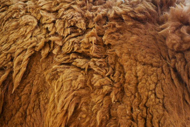 textura de un lama animales de lana - foto de stock