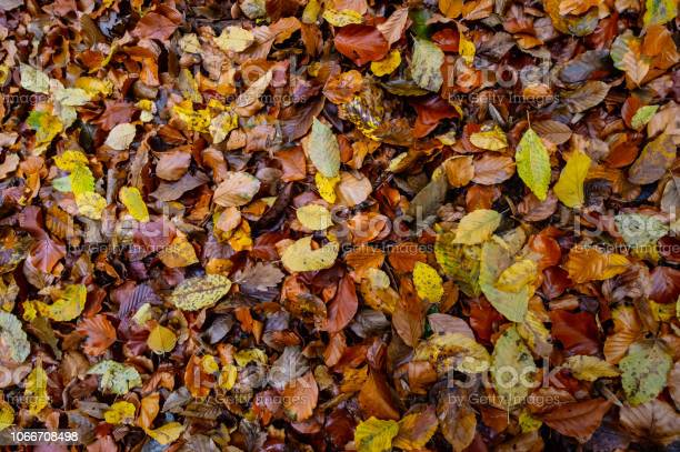 Photo of texture of autumnal colored beech leaves fallen on the forest floor