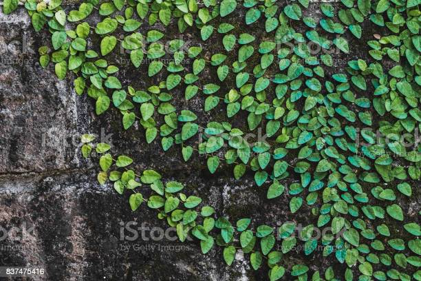 Photo of Texture of black aged stone wall with green clambering plant in Bali