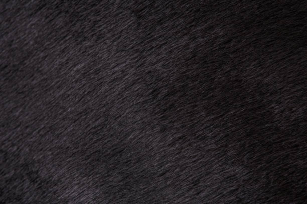 Texture of black fur of a cow, bull closeup. Background, design, ideas. Texture of black fur of a cow, bull closeup. Background, design, ideas. cowhide stock pictures, royalty-free photos & images