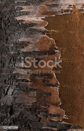 Texture of cherry and apricot tree bark, pattern of tree bark on the inside and outside