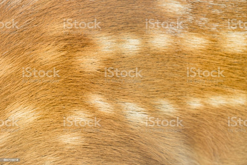 texture of deer fur / ska deer stock photo