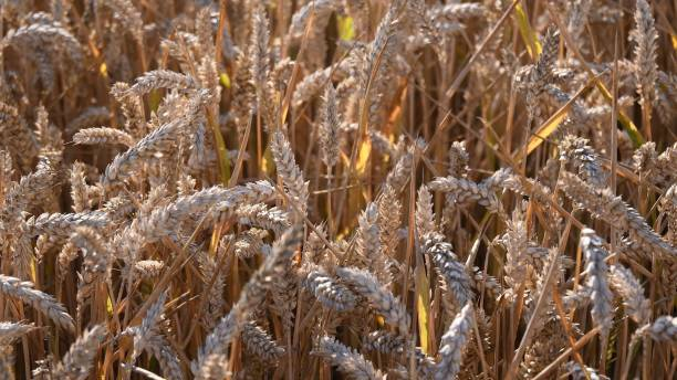 Texture of durum wheat with ripe grains for semola produce stock photo
