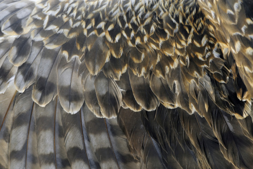 Macro photo of pheasant feathers