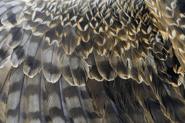 Texture of Eagle's Wing - XLarge stock photo