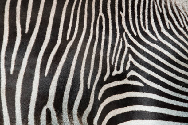 texture of fur, wool zebra. striped black and white background. wild animals - hair line surface stock photos and pictures