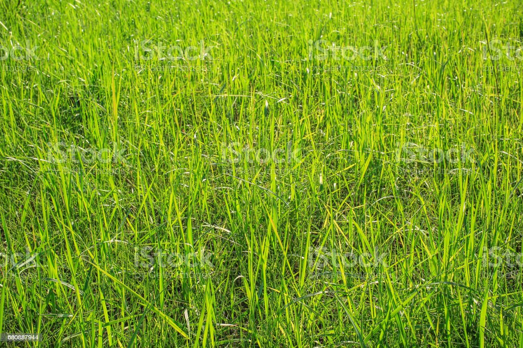 Texture of grass, field with high dense grass royalty-free stock photo