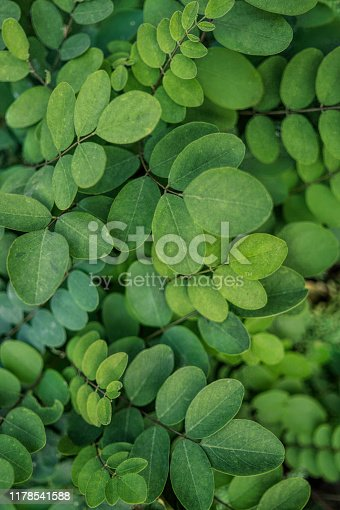 Picturesque autumn forest. Texture of fresh green curly young leaves of acacia tree