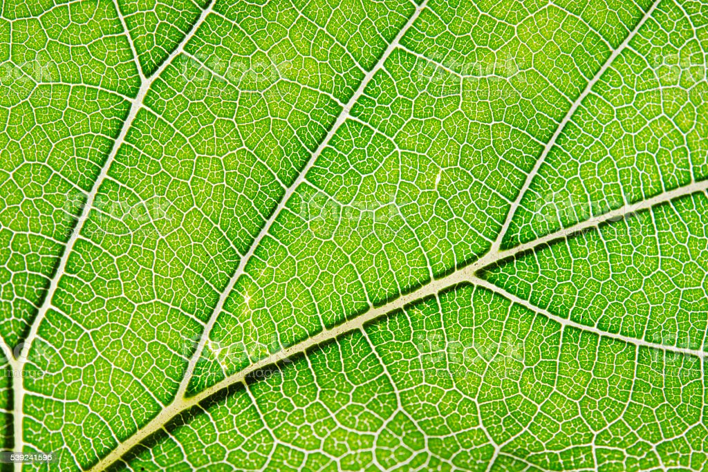 Texture of green leaf and veins royalty-free stock photo