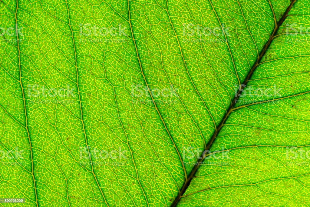 Texture of green leaf background stock photo