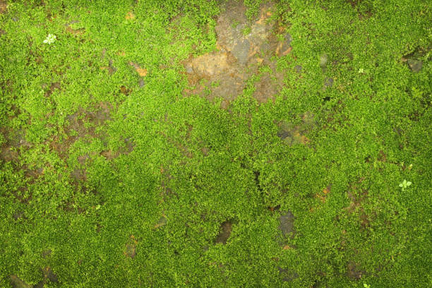 texture of green moss on stone wall background - moss stock pictures, royalty-free photos & images