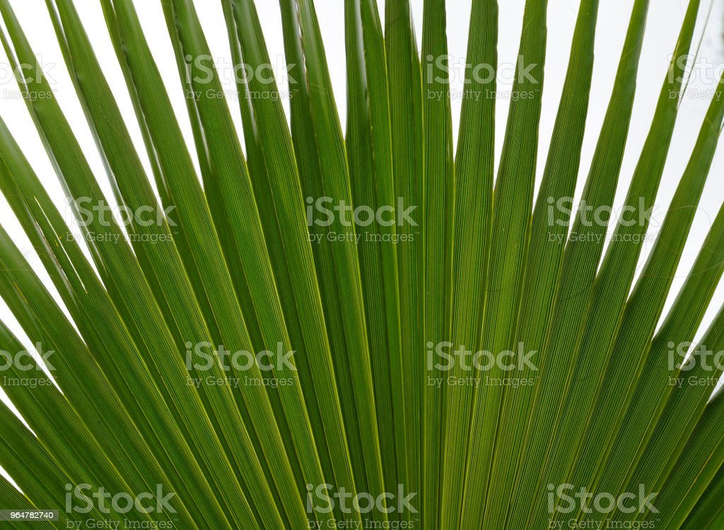 Texture of green palm leaf royalty-free stock photo