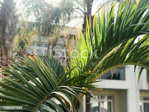 Texture of green sweeping beautiful fresh tropical palm fronds with lots of leaves and copy space on white building background close view. The background.