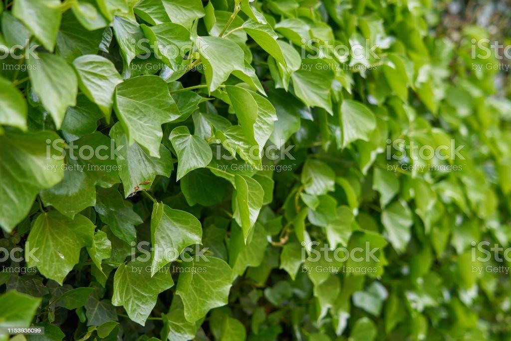 Texture of green vine leaf. Vine leaf texture background