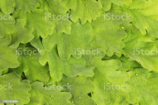 Photo of Texture of oak leaves in dew drops