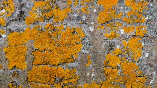 Texture of Orange Lichen on Tree - Textura de Liquenes