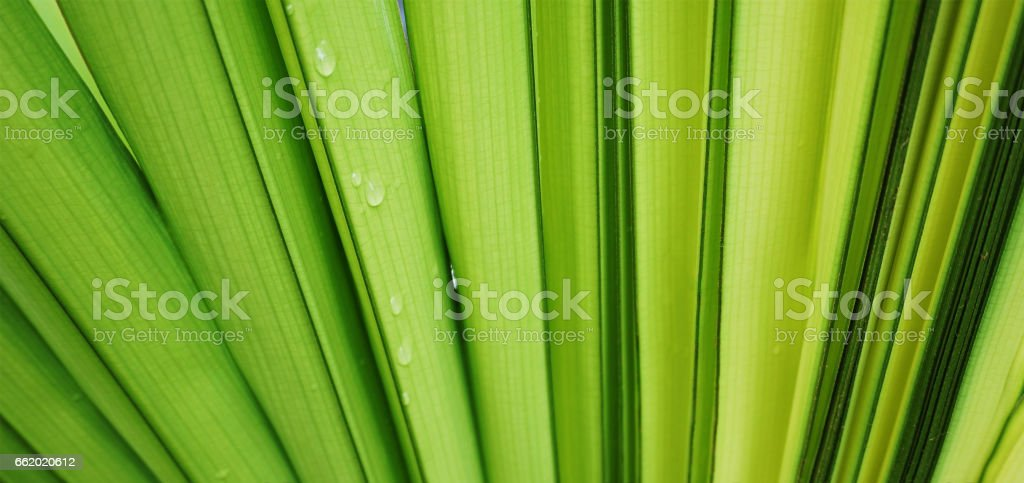 Texture of palm green leaf background royalty-free stock photo