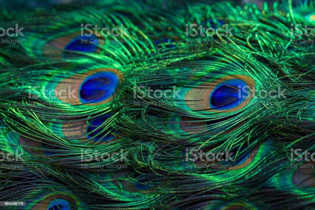 Textura de penas de pavão. Belo plano de fundo, cor rica. - Foto de stock de Animais Machos royalty-free