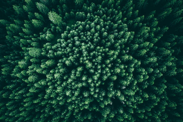 Texture of pines from above stock photo