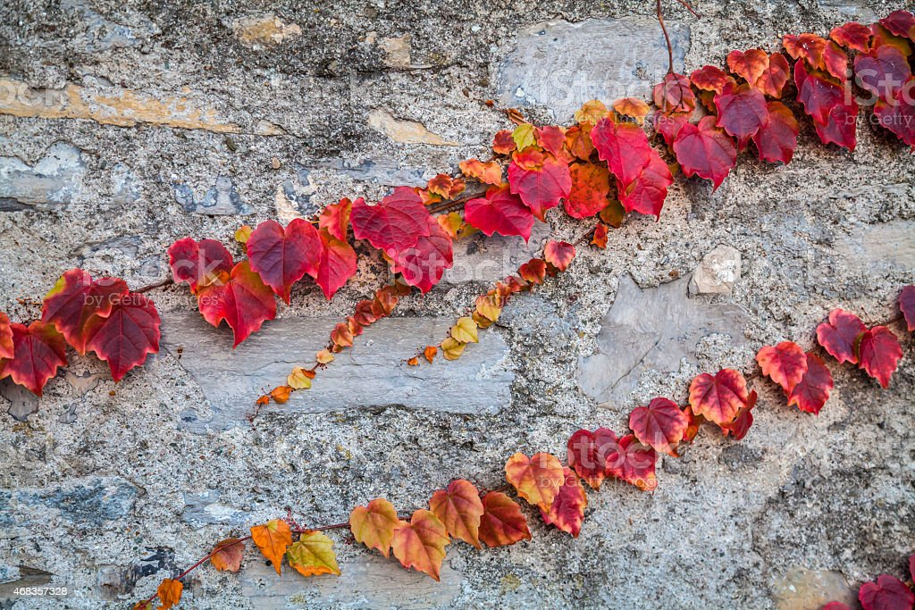 Texture of red ivy on white wall royalty-free stock photo