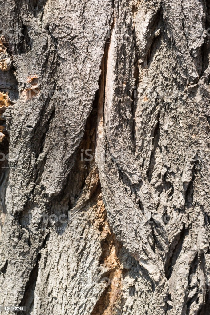 Texture of strong bark of an old tree with a crack royalty-free stock photo
